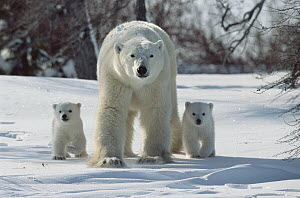 Polar Bear (Ursus maritimus) portrait of mother with three month old cubs, Wapusk National Park, Canada - Mitsuaki Iwago
