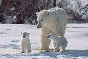 Polar Bear (Ursus maritimus) mother with three month old cubs, Wapusk National Park, Manitoba, Canada - Mitsuaki Iwago