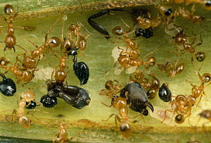 Ant (Allomerus sp) group dismember corpses of their enemies within the hollow branches of Cordia (Cordia nodosa) host tree, Peru  -  Mark Moffett