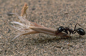Harvester Ant (Messor sp) returning to nest with a seed it has collected to husk and store, near Kerman, Iran  -  Mark Moffett