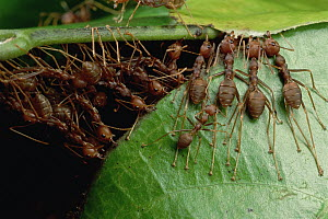 Weaver Ant (Oecophylla longinoda) group grab an adjacent leaf and stem with mandibles and toes and pull, gradually binding them together to make a nest, Malaysia - Mark Moffett