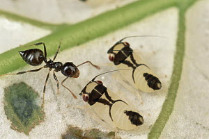 Ant (Crematogaster sp) with treehoppers, French Guiana - Mark Moffett