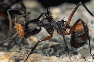 Herdsman Ant (Dolichoderus cuspidatus) group tend aphids, carrying adults from place to place, Malaysia  -  Mark Moffett