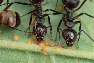 Herdsman Ant (Dolichoderus cuspidatus) workers guarding aphids, carrying adults from place to place, Pasoh, Malaysia  -  Mark Moffett
