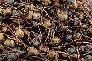 Herdsman Ant (Dolichoderus cuspidatus) group outside their nest, which protects their queen, Malaysia  -  Mark Moffett