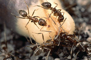 Argentine Ant (Linepithema humile) group feed on soft nutritious eliasome at the tip of a fynbos shrub and discard the seeds without burying them, jeopardizing the fynbos community, South Africa - Mark Moffett
