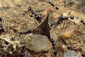 Marauder Ant (Pheidologeton diversus) workers retrieve seeds, and tear them apart for a meal, Namibia - Mark Moffett