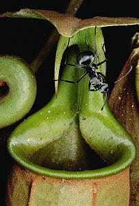 Insects, including ants fall into pitcher plant and drown, Brunei, Borneo  -  Mark Moffett