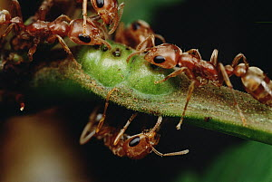 Ant (Pseudomyrmex sp) group drink nectar from Whistling Thorn (Acacia drepanolobium) acacia tree and protect the tree from leaf eating enemies ensuring mutual survival, Costa Rica - Mark Moffett