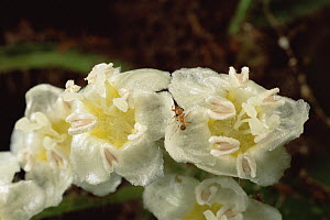 Ant (Allomerus sp) species are parasitic to Cordia bushes, castrating their plants by killing their flowers  -  Mark Moffett