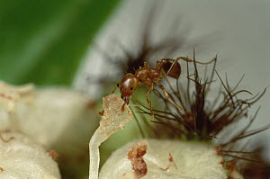 Ant (Allomerus sp) parasite sterilizes Cordia (Cordia nodosa) host tree by dismantling flowers, with energy diverted from reproduction, tree grows larger providing more room for ants, Peru  -  Mark Moffett