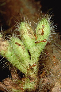 Ant (Allomerus sp) group destroying Cordia buds, by keeping their plant from reproducing, the shrub grows larger for the ants  -  Mark Moffett