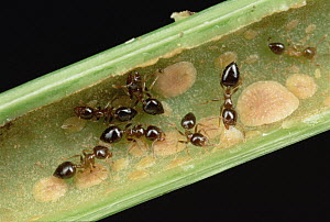 Ant (Crematogaster sp) group inside host plant Macaranga (Macaranga sp) and receive nutrition from scale insects kept inside plant - Mark Moffett