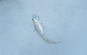 Bald Notothen (Pagothenia borchgrevinki) on iceberg, notothenioid fish uses antifreeze glycoproteins to keep from freezing in Antarctic water, Antarctica - Norbert Wu