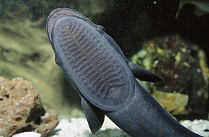 Remora (Remora remora) top of head modified with plates to stick onto animals, worldwide - Norbert Wu
