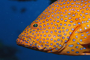 Coral Grouper (Cephalopholis miniata) a type of grouper, changes color at will, Great Barrier Reef, Australia  -  Norbert Wu