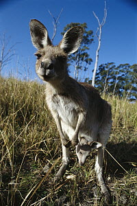 Eastern Grey Kangaroo (Macropus giganteus) mother with joey, found in cow pastures and deserts, Australia  -  Norbert Wu