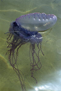 Portuguese Man of War (Physalia physalis) a siphonophore colony split into work groups, poisonous, Belize  -  Norbert Wu