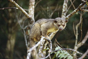 Kinkajou (Potos flavus) a nocturnal mammal in Costa Rican rainforest - Norbert Wu