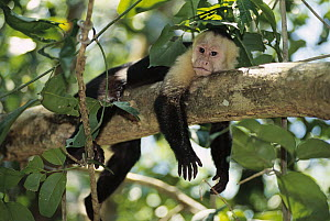 White-faced Capuchin (Cebus capucinus) monkey resting in rainforest, Costa Rica - Norbert Wu