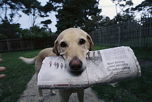 Domestic Dog (Canis familiaris) Yellow Labrador Retriever mix named Ange, fetching newspaper, California - Norbert Wu