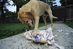 Yellow Labrador Retriever (Canis familiaris) mix, shredding newspaper, mellow dogs, good travelers and swimmers  -  Norbert Wu