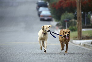 Sam and Ange walking each other, Golden and Yellow Labrador Retriever (Canis familiaris) mix, Carmel, California  -  Norbert Wu