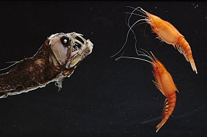 Viperfish (Chauliodus sp) attacking Mysids, luring prey with photophores, deep sea  -  Norbert Wu