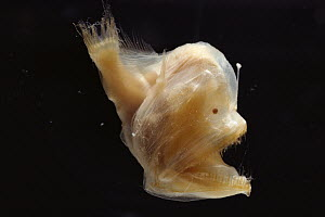 Murray's Abyssal Anglerfish (Melanocetus murrayi) juvenile, note the light organ used to attract prey in the deep sea  -  Norbert Wu