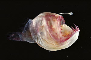 Humpback Anglerfish (Melanocetus johnsoni) deep sea species cleared and stained for show, bone (Red) and cartilage (Blue) - Norbert Wu