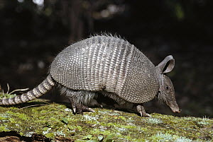 Nine-banded Armadillo (Dasypus novemcinctus) mammal with hard shell, burrows quickly, Florida  -  Norbert Wu