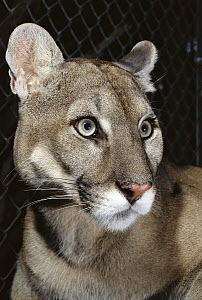 Florida Panther (Puma concolor coryi) portrait, close-up of head, Florida  -  Norbert Wu