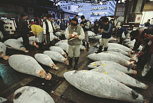 Atlantic Bluefin Tuna (Thunnus thynnus) examinded with flashlights by buyers to determine the quality of the meat, Tsukiji Market, Tokyo, Japan - Norbert Wu