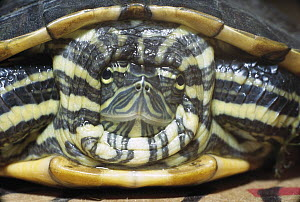 Turtle (Trachemys sp) hides within shell for protection, Panama rainforest - Norbert Wu