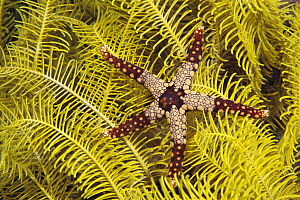 Candy Cane Sea Star (Fromia monilis) within arms reach of a Feather Star (Comanthina nobilis), Philippines  -  Norbert Wu