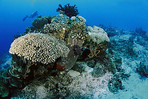 Coral has overgrown artificial reef created by old tires, Similan Islands, Thailand - Norbert Wu