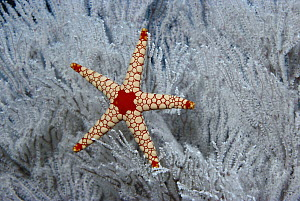 Candy Cane Sea Star (Fromia monilis) in Soft Coral tree, Seychelles  -  Norbert Wu