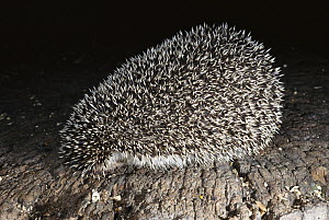 Brown-breasted Hedgehog (Erinaceus europaeus) occurs broadly in the Palaearctic region, will defend itself by rolling into a ball and exposing its spines  -  Norbert Wu