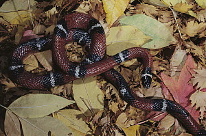 Sonoran Mountain King Snake (Lampropeltis pyromelana knoblochi) mimics venomous Coral Snake with similar banded pattern, Arizona  -  Norbert Wu