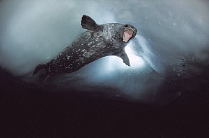 Weddell Seal (Leptonychotes weddellii) male showing aggression towards the diver who is near breathing hole, Antarctica  -  Norbert Wu