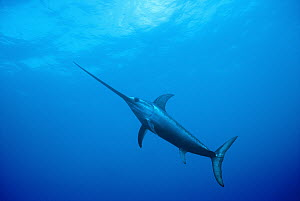 Swordfish (Xiphias gladius) worldwide, can tolerate temperatures of five degrees Celsius and dive to 650 meters, uses sword to kill prey such as squid, can grow to 14 feet and 1200 pounds, Sardinia, I...  -  Norbert Wu