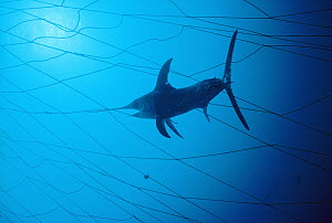 Swordfish (Xiphias gladius) caught in fishing net, population is threatened by overfishing, worldwide, Sardinia, Italy, Mediterranean sea  -  Norbert Wu