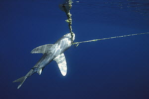 Oceanic White-tip Shark (Carcharhinus longimanus) hooked on long-line, threatened by overfishing to supply high demand for fins and flesh, Baja California, Mexico - Norbert Wu