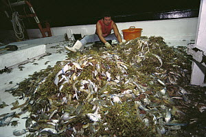 Shrimper culling his catch, up to 12 times bycatch for one pound of shrimp, populations and habitat threatened by too many trawlers, Texas, USA, Gulf of Mexico  -  Norbert Wu