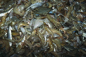 Shrimp trawl catch, shrimp trawling results in tremendous bycatch and waste, up to 12 times bycatch for one pound of shrimp, Gulf of Mexico, Texas  -  Norbert Wu