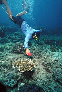 Simulated specimen collecting for the aquarium fish trade, demonstrating the use of cyanide to stun fish which kills coral reefs as a side effect, Philippines  -  Norbert Wu