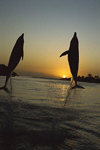 Bottlenose Dolphin (Tursiops truncatus) silhouetted pair leaping from Caribbean Sea at sunset, Roatan, Honduras, Captive  -  Norbert Wu