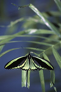 Common Green Birdwing (Ornithoptera priamus) butterfly male on leaf in rainforest, Queensland, Australia - Norbert Wu