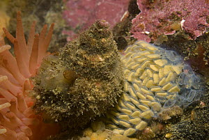 Oregon Triton (Fusitriton oregonensis) snail laying egg masses, with empty egg cases which have already hatched, Alaska  -  Norbert Wu