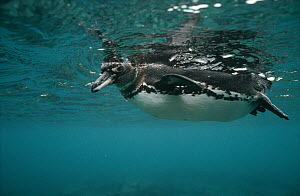 Galapagos Penguin (Spheniscus mendiculus) underwater in feeding foray in coastal shallows, Bartolome Island, Galapagos Islands, Ecuador  -  Tui De Roy